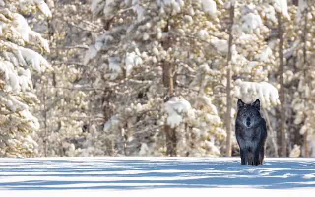 帰国してから25年後、イエローストーンのオオカミは最も研究されていますが、誤解されている善良な少年です
