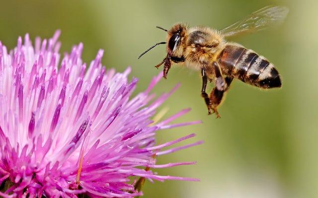 อีกเหตุผลหนึ่งที่ผึ้งเมา: อัลมอนด์ที่ประณามของคุณ