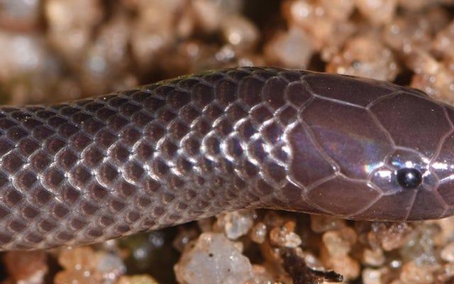 Mereka menemukan spesies ular baru yang mampu menyerang dengan bisa tanpa harus membuka mulutnya