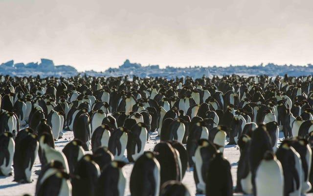 """""""Katastrofalne"""" niepowodzenia rozrodcze zniszczyły dużą kolonię pingwinów cesarskich"""