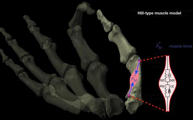 人間の親指は200万年前に大幅なアップグレードを行い、文化大革命を引き起こしました。