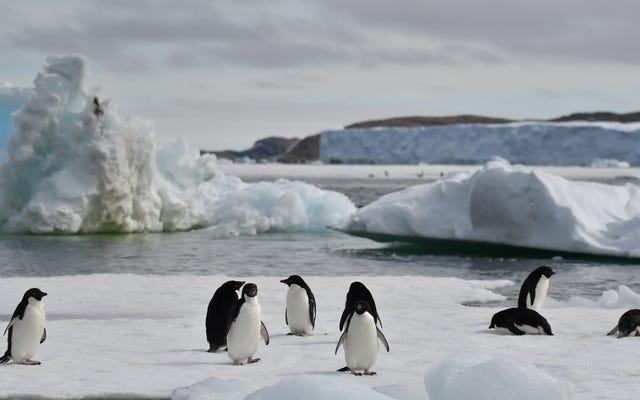 Przynajmniej niektóre pingwiny odniosły korzyści z rekordowej utraty lodu na Morzu Antarktycznym