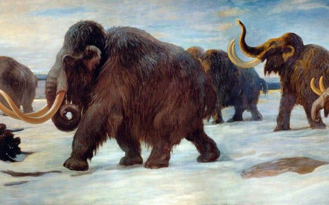 Tại sao Voi ma mút đực thường mắc bẫy hơn voi ma mút cái?