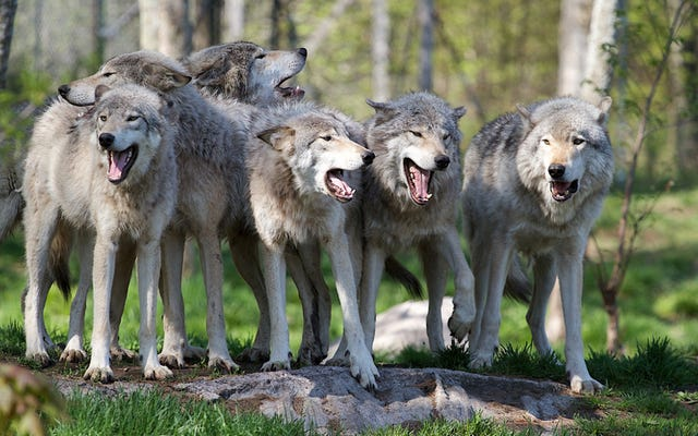 ¿Qué les sucede a los lobos cuando son criados como perros?
