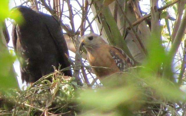 L'amore proibito di Hawks si traduce in un ibrido raro