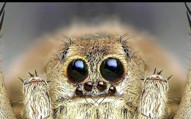 Männliche Spinnen essen Frauen aus, um am Leben zu bleiben