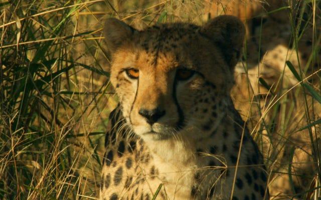 Риз Уизерспун рассказывает новый документальный сериал о `` жестоких '' самках животных