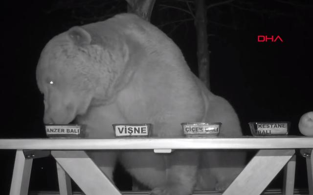 Bienvenue, voici quelques ours turcs capturés par du miel testant le goût de la vidéosurveillance