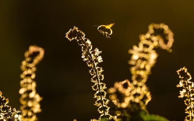 Bumblebees के बारे में चिंता करने के लिए कुछ नया है