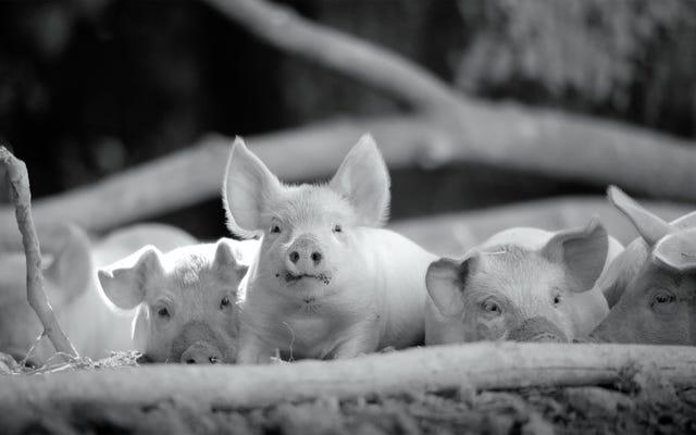 言葉のないドキュメンタリーベイブ、グンダの農場生活は美しく残忍です