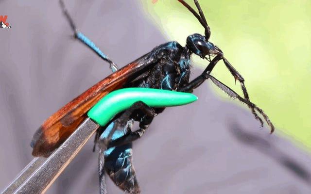 これは、痛み指数の限界の危機に瀕しているタランチュラ狩猟ハチのかみ傷です
