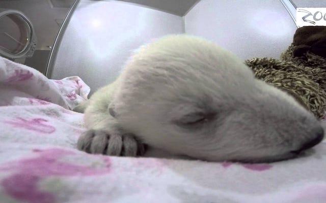 この赤ちゃんホッキョクグマのために何でもします
