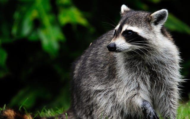 निहारना, एक चंकी एक प्रकार का जानवर जो एक सीवर झंझट में फंस गया