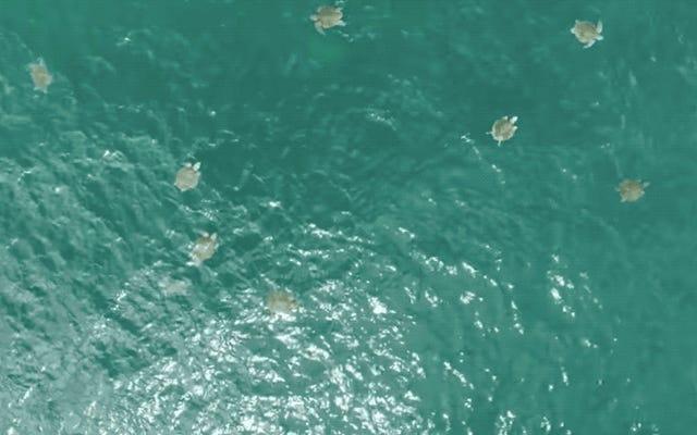 空から撮影されたこの印象的なビデオで出てくるすべてのウミガメを数えることは不可能です