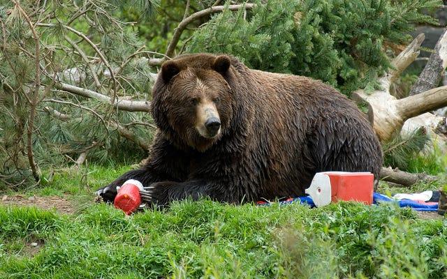 コロラドのカップルは、クマのこっそりとちょっとしたおやつに抵抗できません