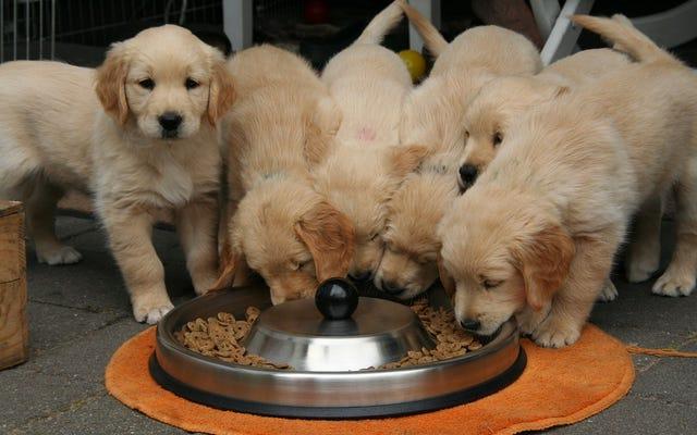 Amerika Serikat Mengaitkan 16 Merek Makanan Anjing Populer Ini Dengan Penyakit Jantung Anjing