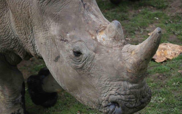Cazadores furtivos matar a un rinoceronte en un zoológico es una mierda bastante oscura