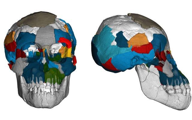 ルーシーの脳は類人猿の一部であり、人間の一部でした