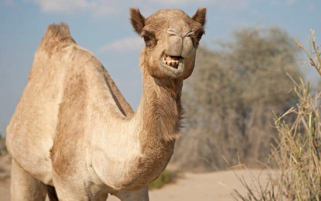 Последний звонок: если турдаккена недостаточно, попробуйте сделать чучело верблюда.