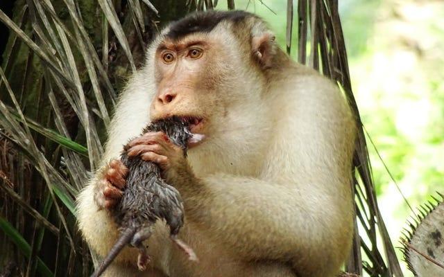 ये चूहा खाने वाले बंदर कीट नियंत्रण के एक आश्चर्यजनक प्रभावी रूप हैं