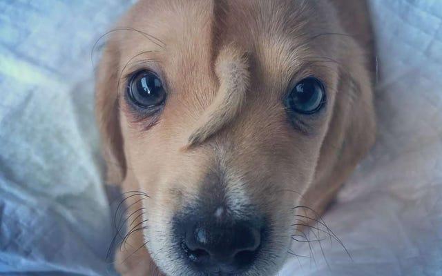 यह परित्यक्त पिल्ला एक मालिक की तलाश में है। उसका नाम नरवाल है और उसके माथे पर दूसरी पूंछ है
