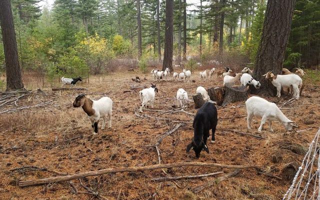 İtfaiye Keçileri, Yakmadan Batıda Yakıtı Yutuyor