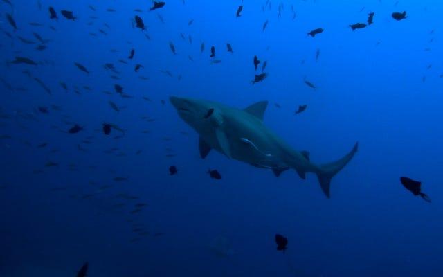 Les requins-taureaux se dirigent vers le nord grâce au changement climatique