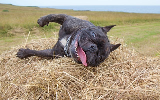 ポットが合法になった今、「大麻毒性」に苦しんでいるマサチューセッツ州の犬