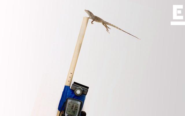 科学者たちは自然淘汰を研究するためにリーフブロワーでトカゲを恐怖に陥れた