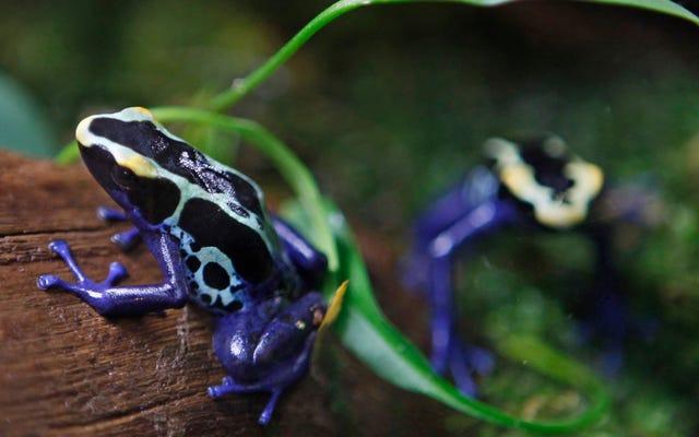 憂慮すべき研究は、カエルが「壊滅的な」世界的な死を迎えていると結論付けています