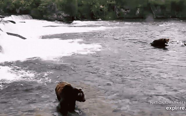 この巨大な大人のクマが偶然出会ったカブを殺した理由