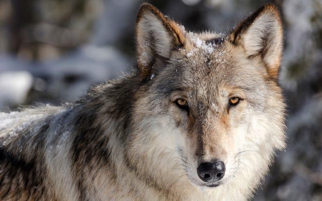 ผู้ว่าการรัฐมอนทาน่าฆ่าหมาป่าเยลโลว์สโตน