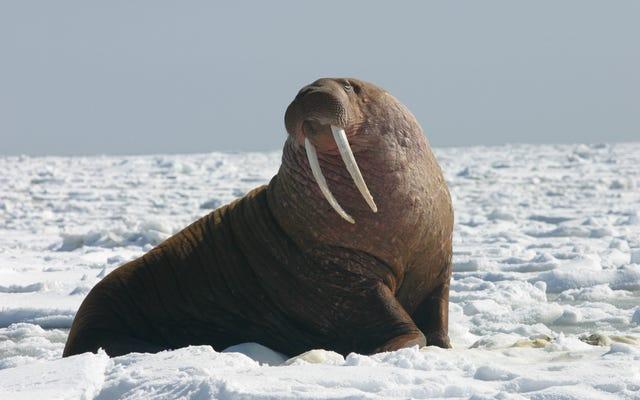 北極圏でのロシア遠征のボートをワルスが攻撃して沈めます