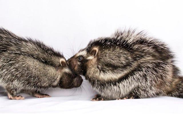 यह मोनोगैमस, जहरीला चूहा आश्चर्य से भरा है