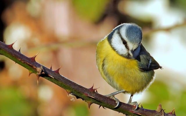 Questi uccelli hanno imparato a evitare il cibo schifoso guardando i video sul computer