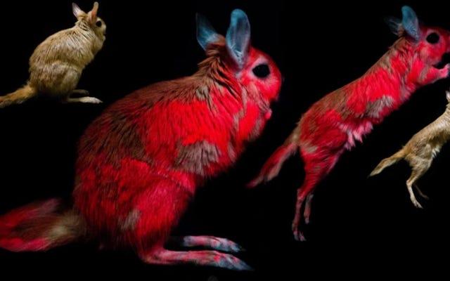 Ученые хотят знать, почему этот очаровательный грызун может светиться в темноте