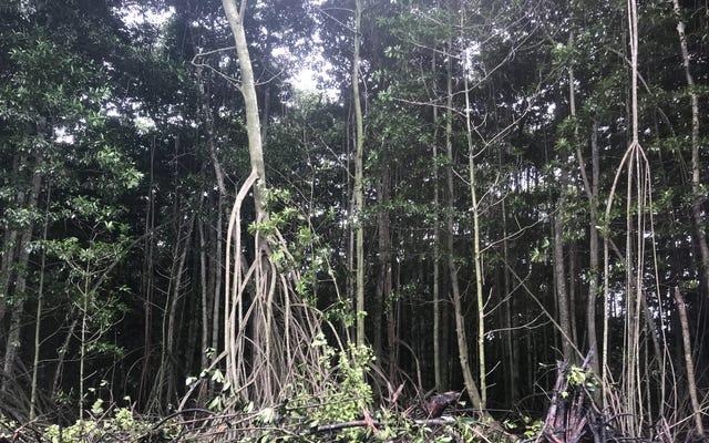Por qué Hawái está quemando sus enormes manglares