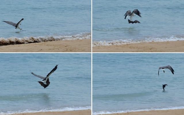 शोधकर्ताओं ने ईगल टॉर्ट्यूरिंग बैट को बार-बार समुद्र में गिरते हुए देखा