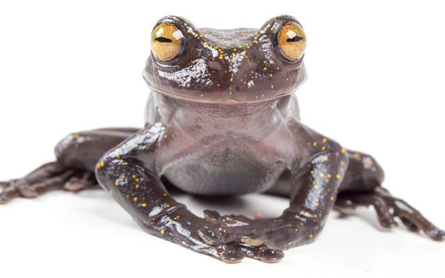 Urocza, nowo odkryta żaba drzewna ma tajemniczy pazur