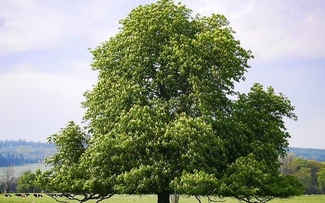 Lebih dari Separuh Pohon Eropa Yang Hanya Ditemukan di Eropa Menghadapi Kepunahan