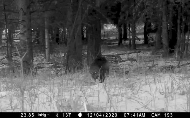 Wolverine raro visto en Yellowstone por primera vez en años