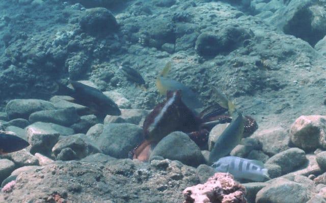 タコは魚を殴るのが好きだ、新しい研究は示唆している