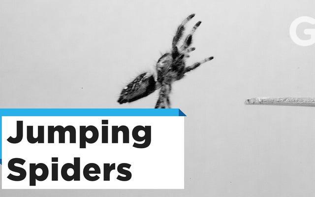 Verrückte Wissenschaftler haben einer Raubspinne beigebracht, für sie zu springen, und jetzt sind wir wahrscheinlich alle zum Scheitern verurteilt
