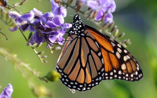 12の新しい研究は、昆虫がどれほど絶滅に近いかを示しています