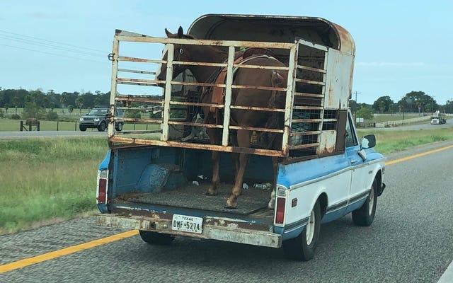 ほとんどのテキサスの運転手はこれまでに古いシボレーのピックアップトラックのベッドで馬を輸送します