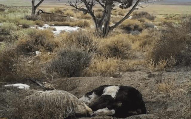ดูแบดเจอร์จอมขยันตัวนี้ฝังวัวทั้งตัวด้วยตัวเอง