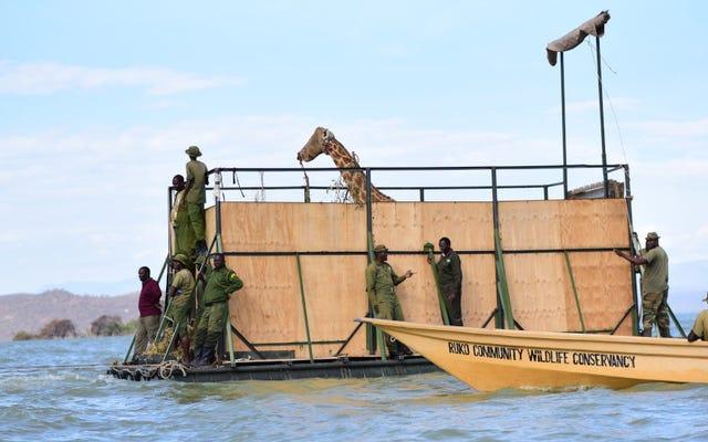 ยีราฟสองตัวสุดท้ายได้รับการช่วยเหลือจากเกาะเคนยาที่หายไป