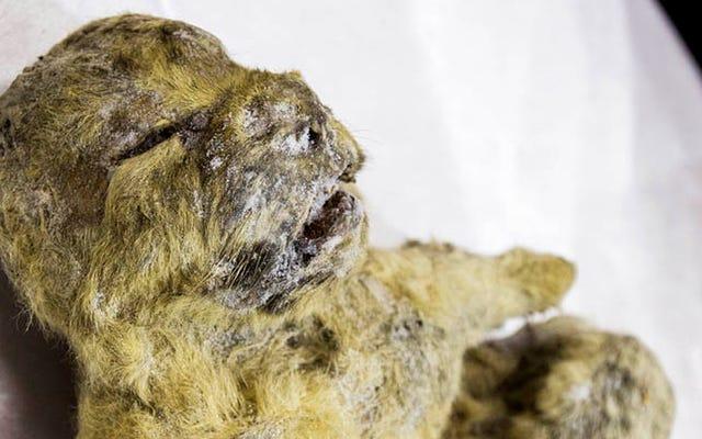 冷凍ライオンカブの腹にはまだ12、000年前の母乳が含まれている可能性があります