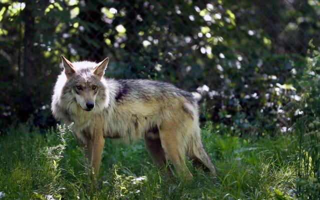 Kelompok Lingkungan Menuntut Administrasi Trump Karena Melemahkan Undang-Undang Spesies yang Terancam Punah