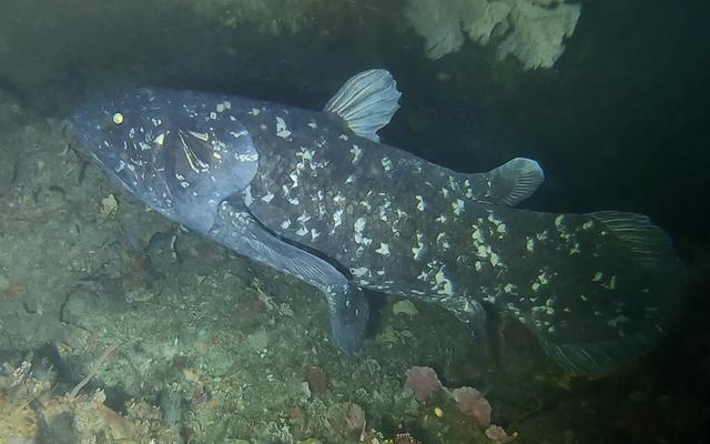 巨大な魚は、かつては絶滅したと信じられていましたが、「生きている化石」の科学者は考えていませんでした